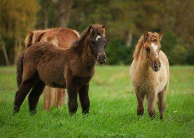 Island Pferde Hof Stubbenkamp Hemmoor Zucht Aufzucht Pension Salzkammer